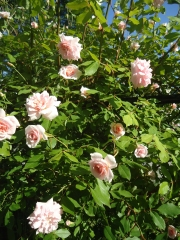 my ugly (but serviceable) black chain link fence is greatly enhanced by these climbing pink roses